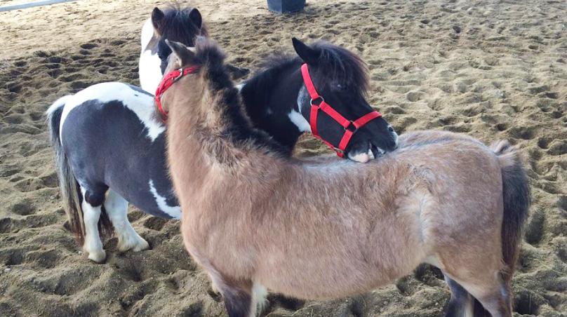 สีสันของม้าแคระ