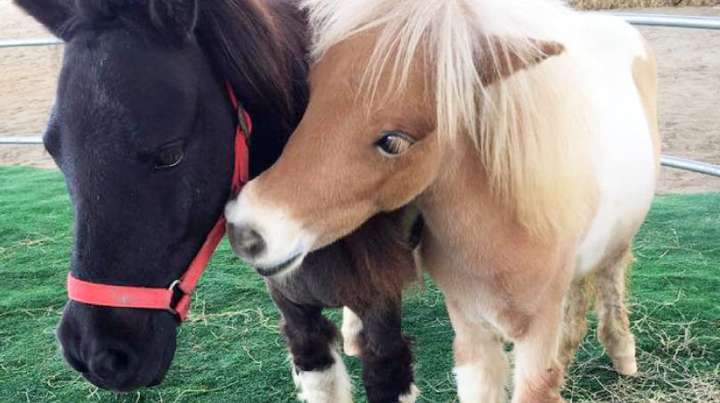 ลักษณะนิสัยของม้าแคระ