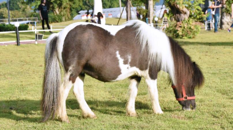 ลักษณะภายนอกของม้าแคระ